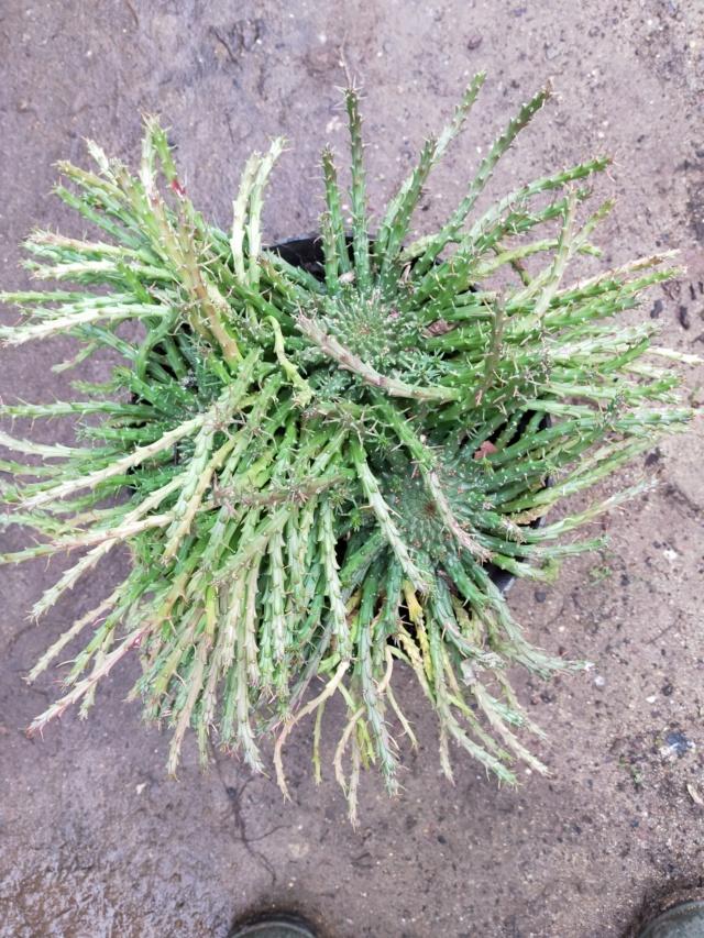 Une variété d'Euphorbe à identifier...Euphorbia Flanaganii Img20455