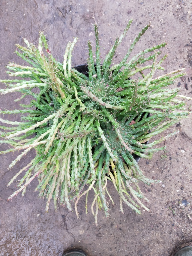 Euphorbia flanaganii Img20465
