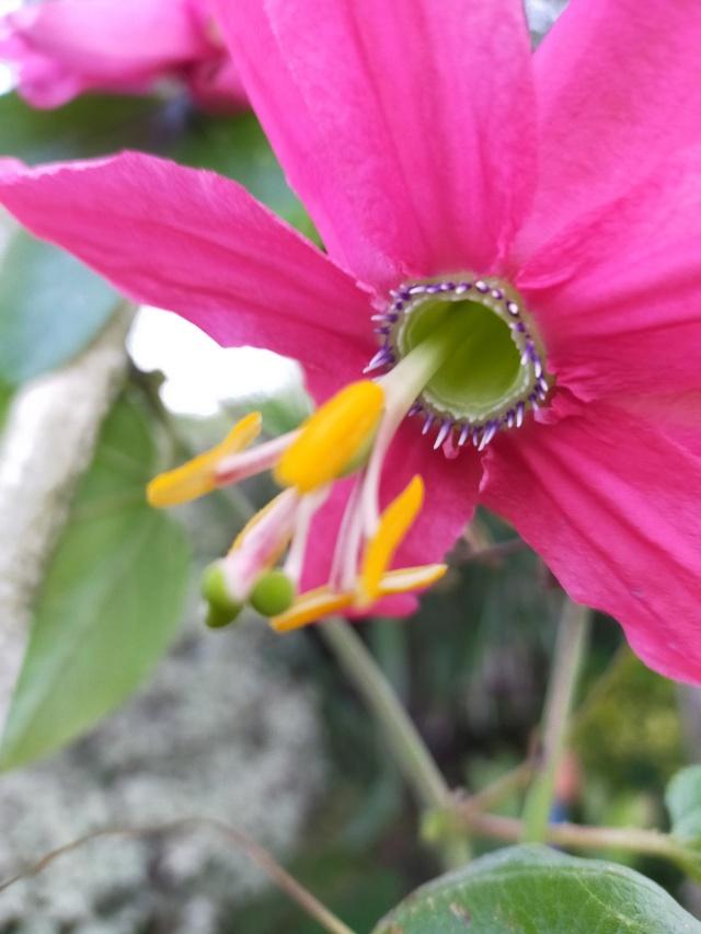 Passiflora antioquiensis Img20467