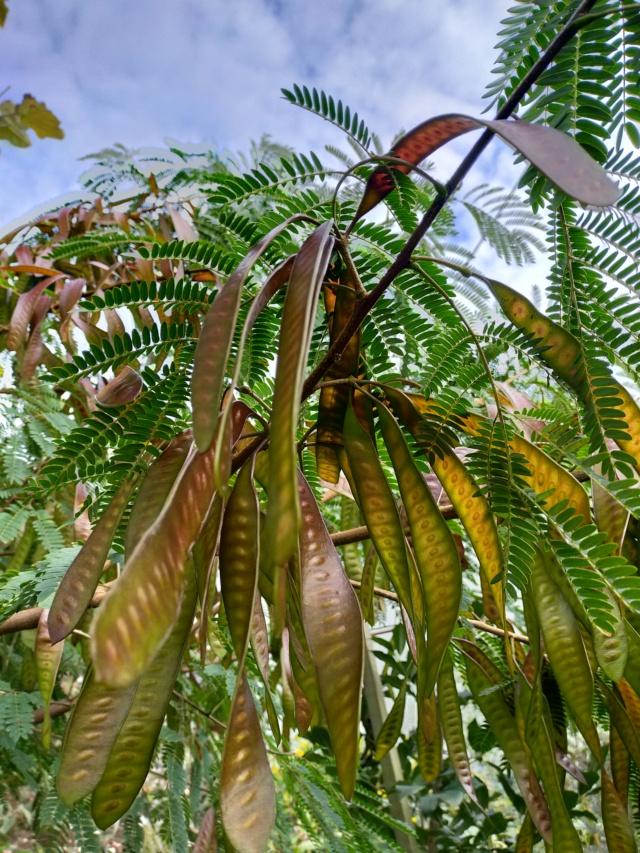 Leucaena leucocephala Img20472