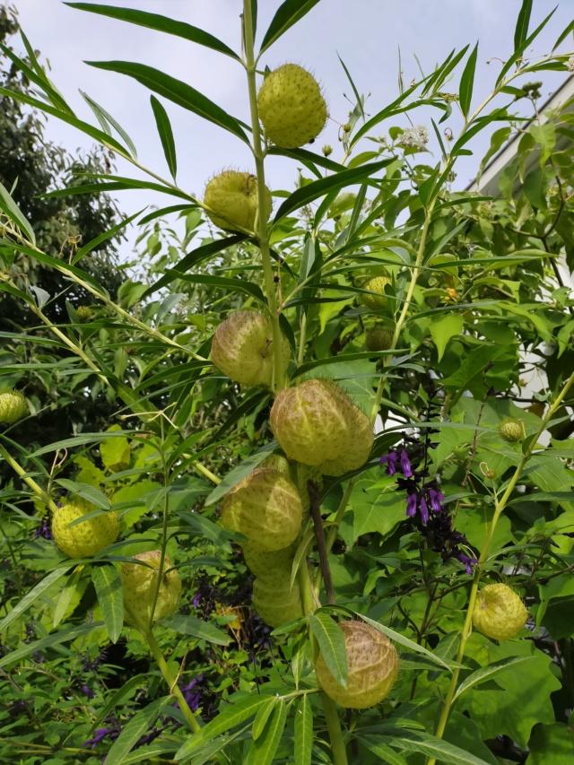 Gomphocarpus fruticosus - faux cotonnier - Page 2 Img20473