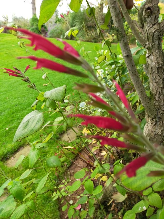 Demande l' identification d'un Salvia - Salvia longistyla Img20502