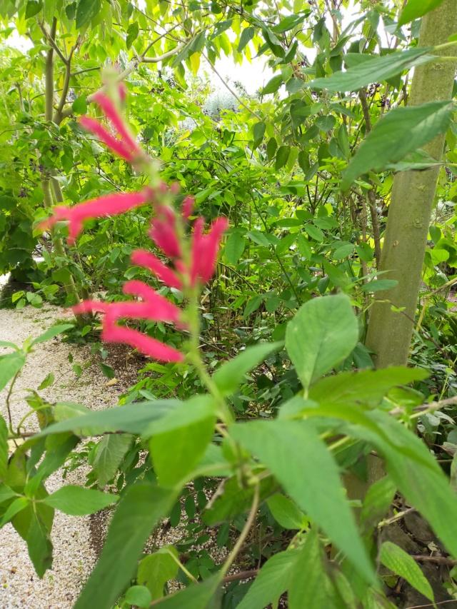 Demande l' identification d'un Salvia - Salvia longistyla Img20516