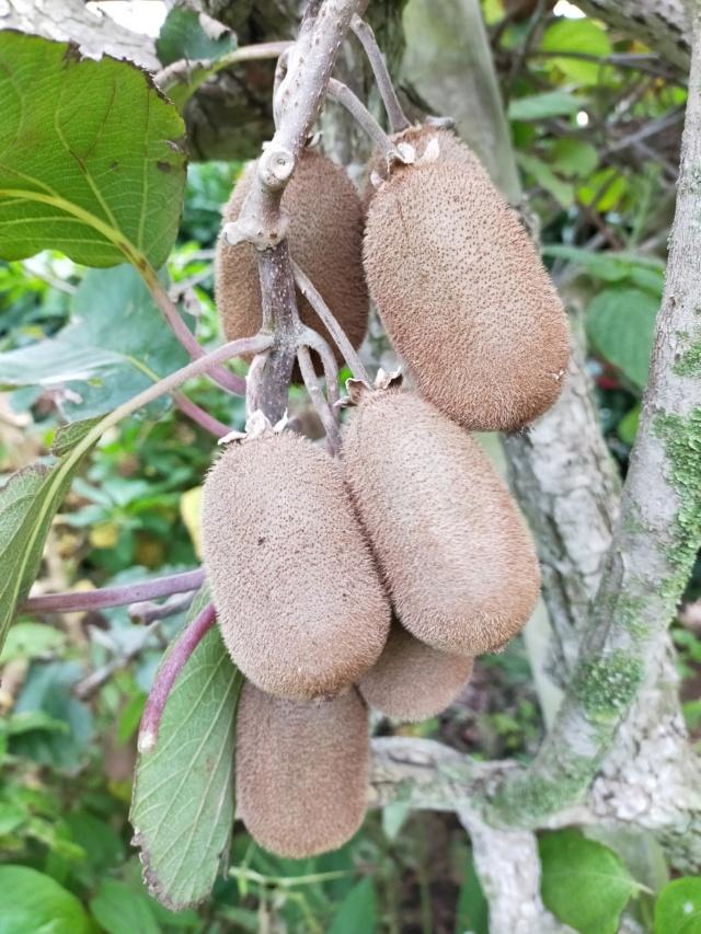 Des fruits d'automne dans le jardin de Michel Img20518
