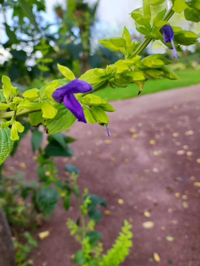 Salvia mexicana 'Limelight' Img20540