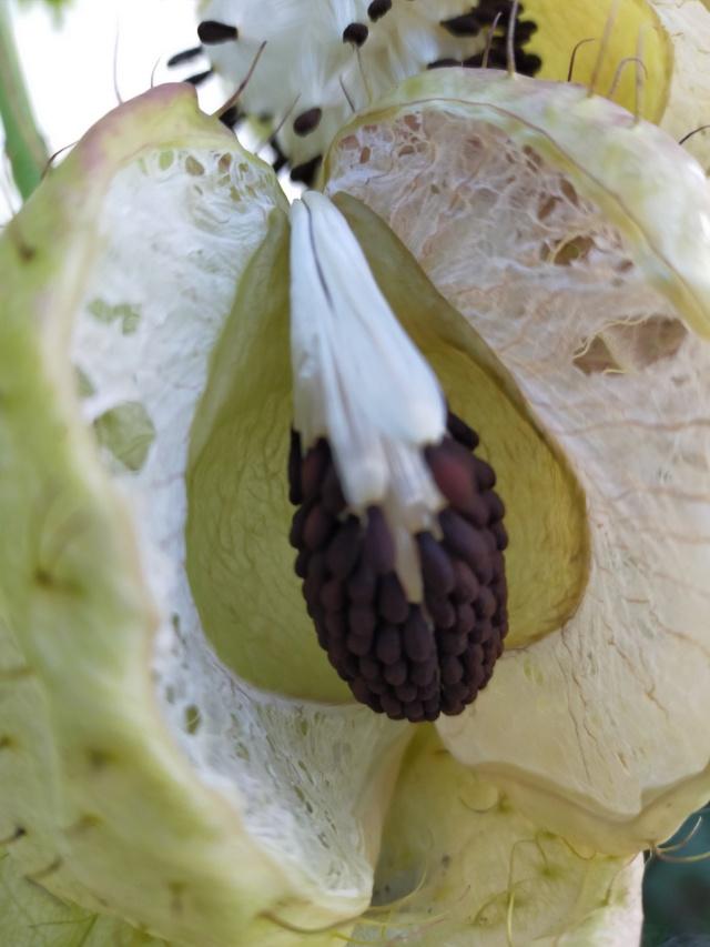 Gomphocarpus fruticosus - faux cotonnier - Page 2 Img20579