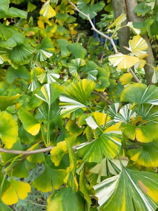 Ginkgo biloba f. variegata Img20581