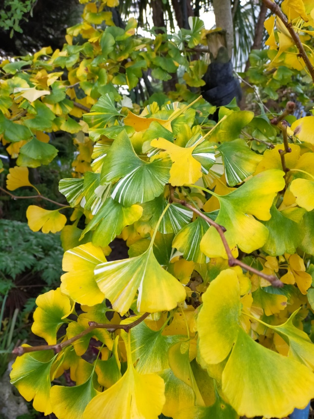 Ginkgo biloba f. variegata Img20582