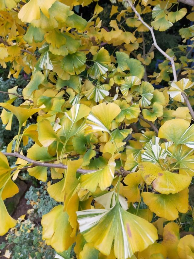 Ginkgo biloba f. variegata Img20584