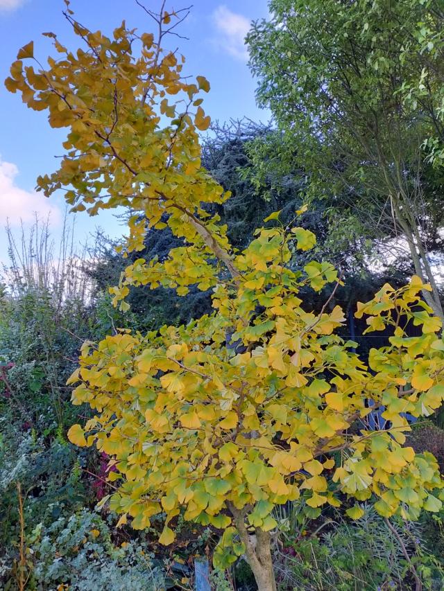 Ginkgo biloba f. variegata Img20586