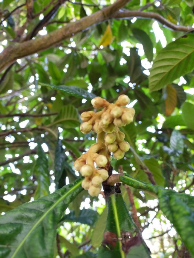 Eriobotrya japonica - bibacier, néflier du Japon - Page 5 Img20588