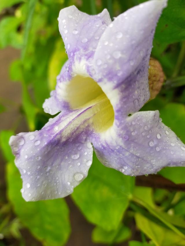 Thunbergia grandiflora 'Augusta Blue' - trompette du Bengale Img20603