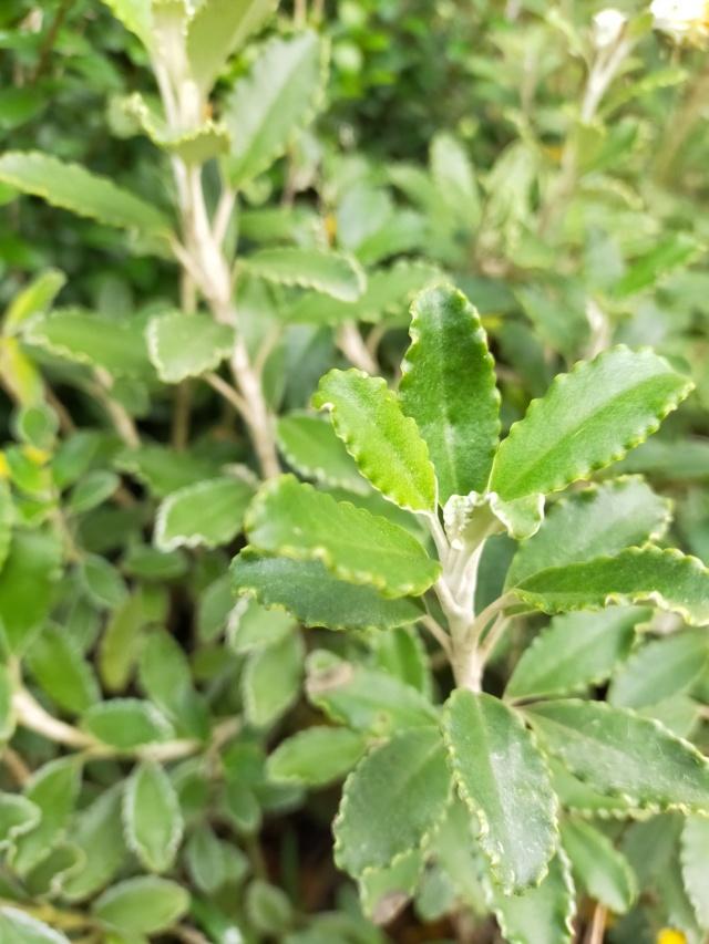 Brachyglottis monroi (= Senecio monroi) Img20621