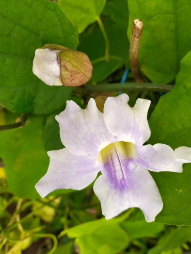 Thunbergia grandiflora 'Augusta Blue' - trompette du Bengale Img20631