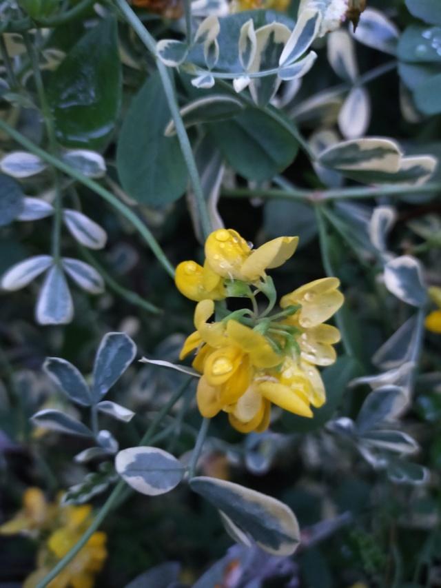 Coronilla glauca (= C. valentina subsp. glauca) - coronille glauque Img20649