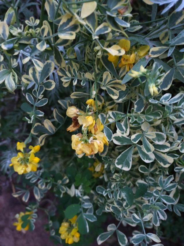 Coronilla glauca (= C. valentina subsp. glauca) - coronille glauque Img20650