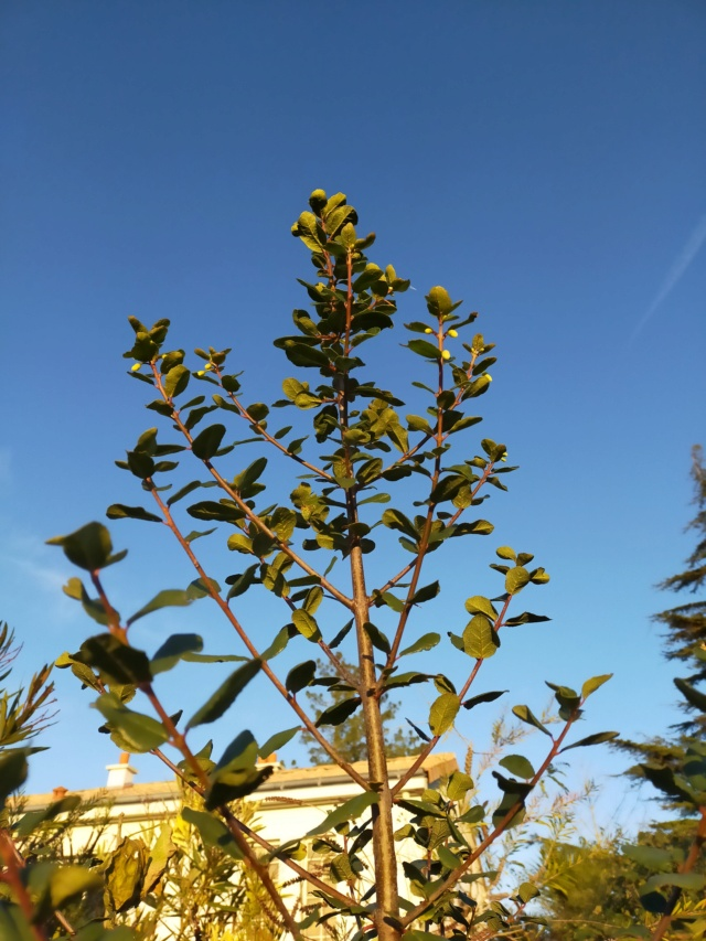 Crinodendron patagua (=Tricuspidaria dependens) - patahua du Chili Img20651