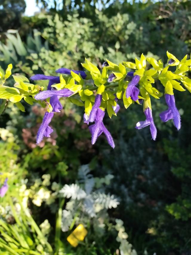 Salvia mexicana 'Limelight' Img20655