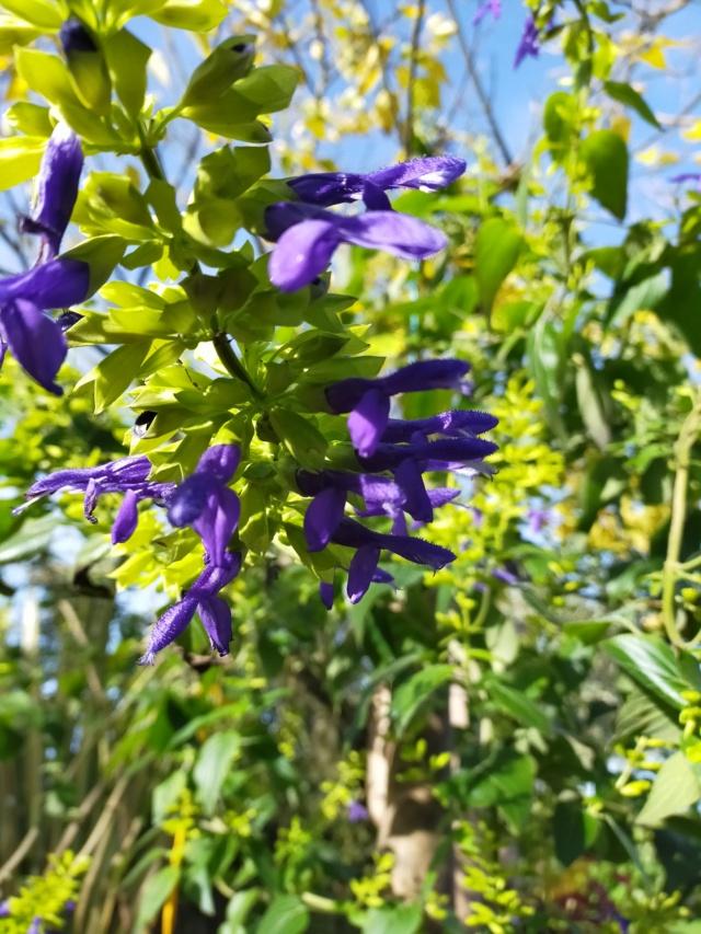 Salvia mexicana 'Limelight' Img20656