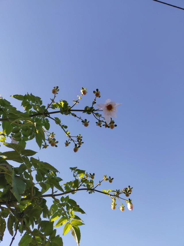 Dahlia imperialis - Page 9 Img20657
