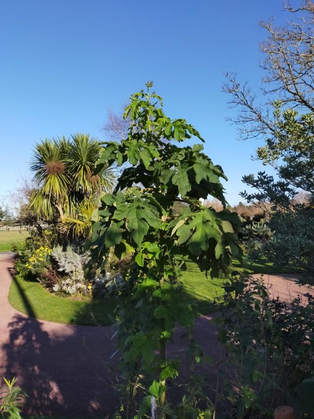 Montanoa hibiscifolia - arbre à marguerites - Page 2 Img20659