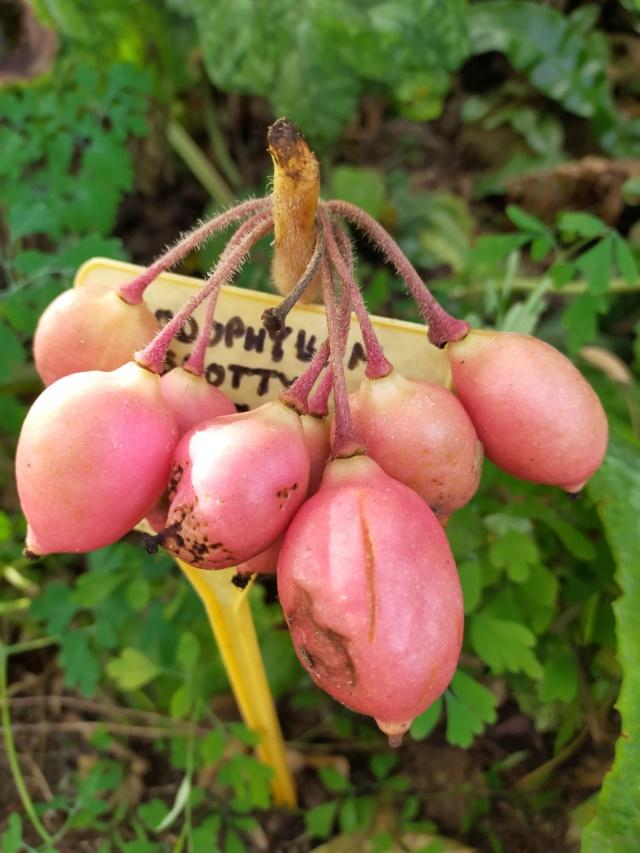 Podophyllum - le genre - Page 2 Img20663