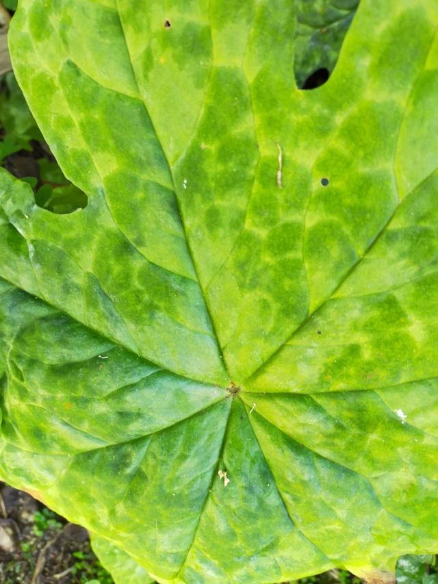 Podophyllum - le genre - Page 2 Img20665