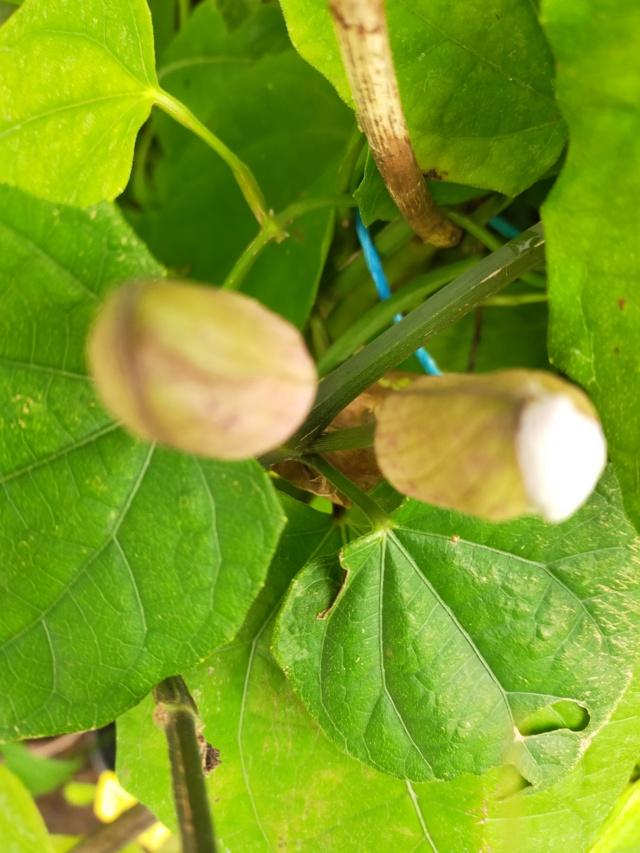 Thunbergia grandiflora 'Augusta Blue' - trompette du Bengale Img20667