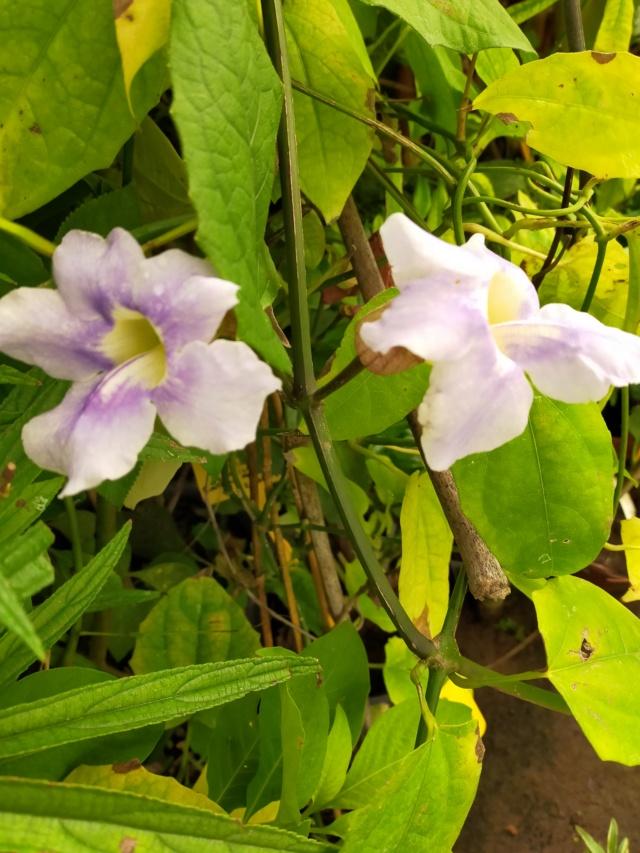 Thunbergia grandiflora 'Augusta Blue' - trompette du Bengale Img20668