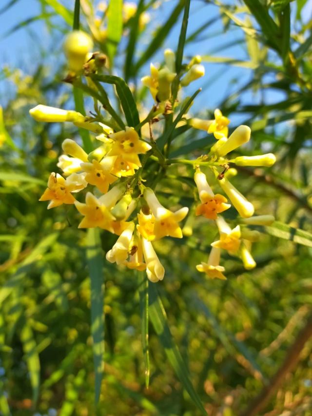 Freylinia lanceolata - Page 2 Img20677