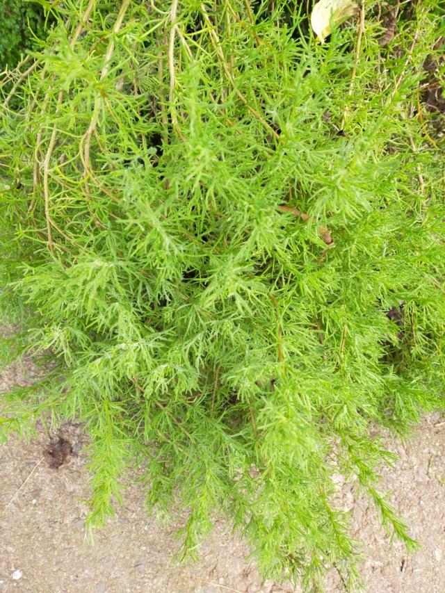 Eriocephalus africanus Img20742