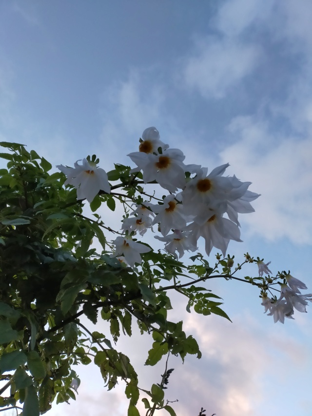 Dahlia imperialis - Page 10 Img20745