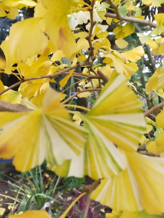 Ginkgo biloba f. variegata Img20747