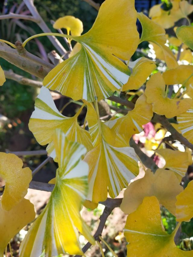 Ginkgo biloba f. variegata Img20748