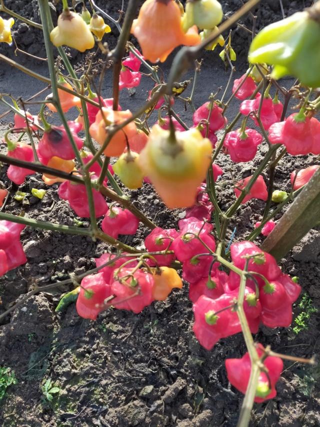 Des fruits d'automne dans le jardin de Michel Img20779