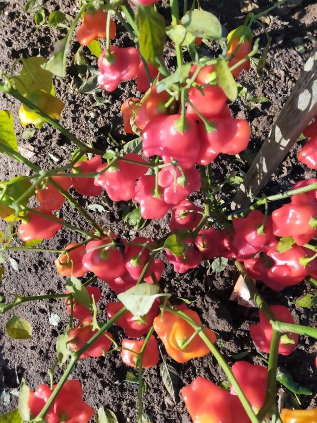 Des fruits d'automne dans le jardin de Michel Img20781