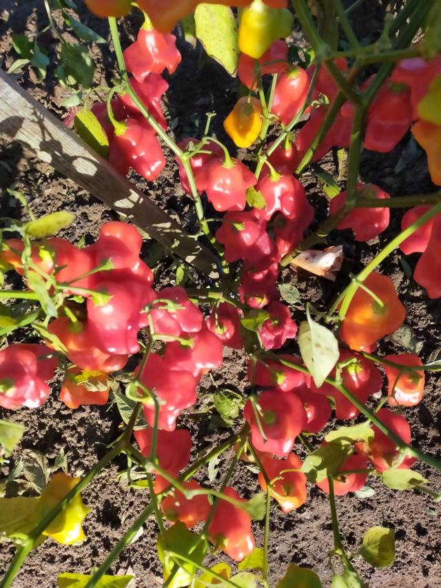 Des fruits d'automne dans le jardin de Michel Img20783