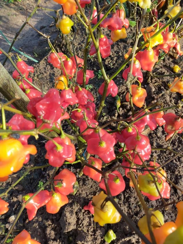 Capsicum baccatum - piment clochette Img20796
