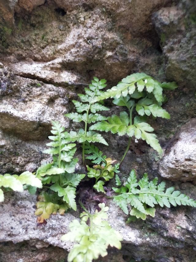 flore des vieux murs, rochers  et rocailles naturelles - Page 9 Img20827