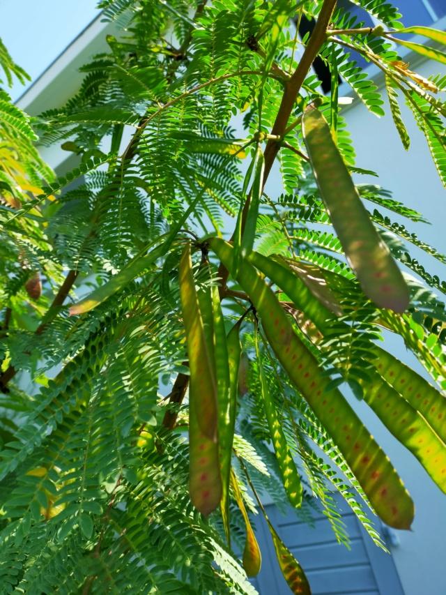 Zapoteca portoricensis (= Calliandra portoricensis) - arbre aux houppettes Img20832