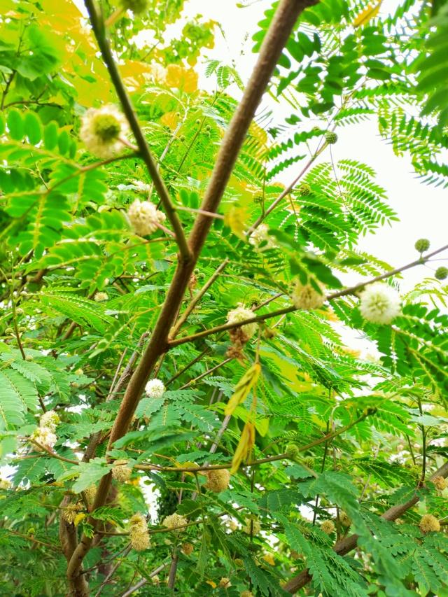 Zapoteca portoricensis (= Calliandra portoricensis) - arbre aux houppettes Img20833
