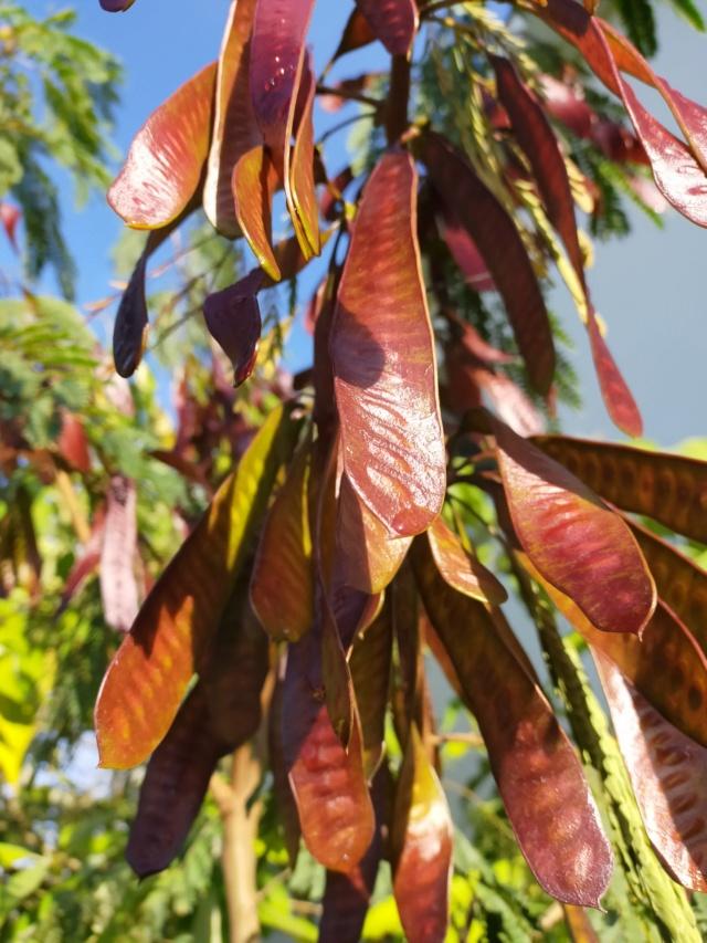 Zapoteca portoricensis (= Calliandra portoricensis) - arbre aux houppettes Img20835