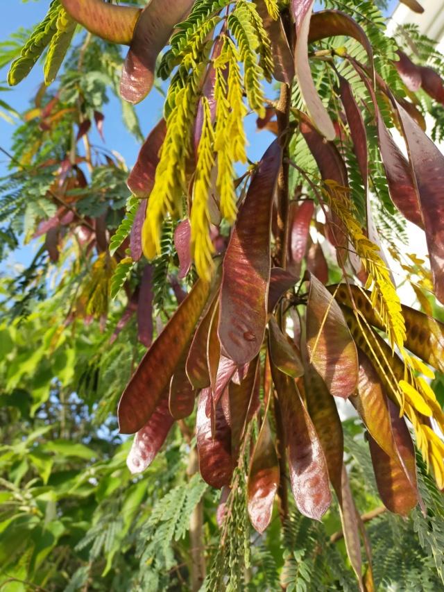 Zapoteca portoricensis (= Calliandra portoricensis) - arbre aux houppettes Img20836