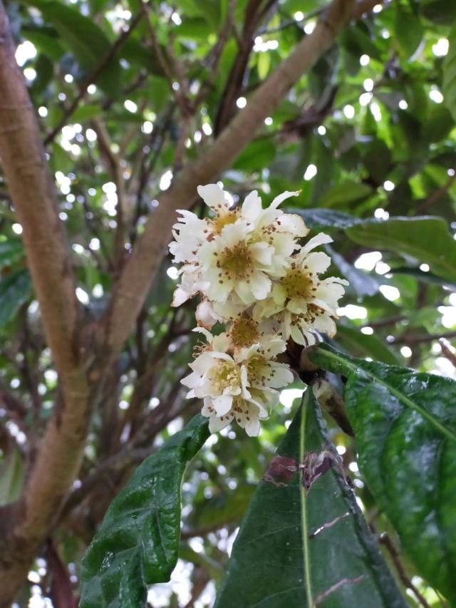 Eriobotrya japonica - bibacier, néflier du Japon - Page 6 Img20845