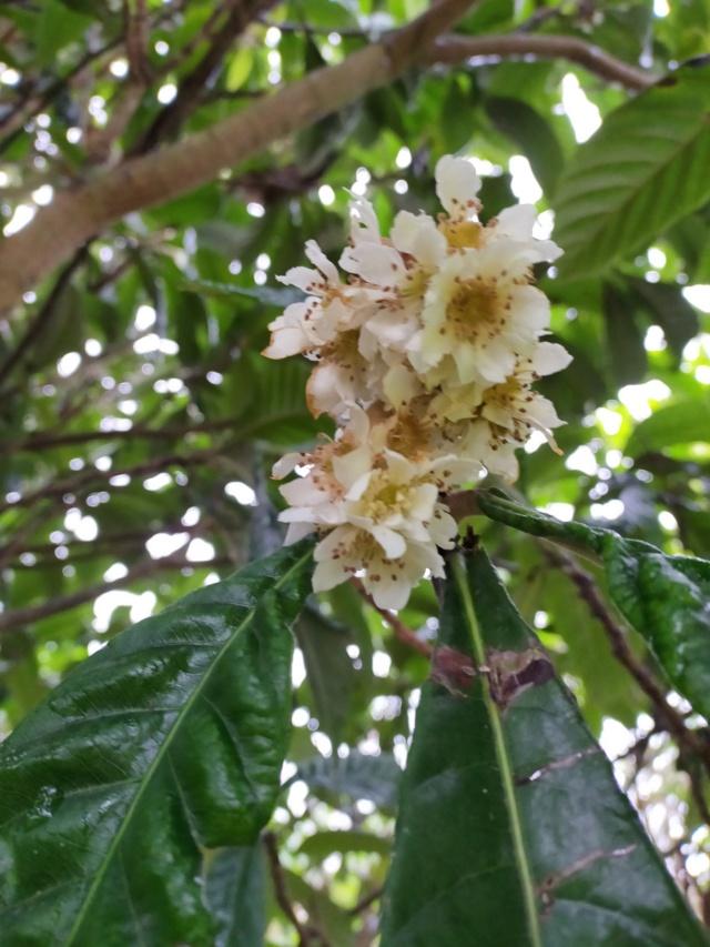 Eriobotrya japonica - bibacier, néflier du Japon - Page 6 Img20846