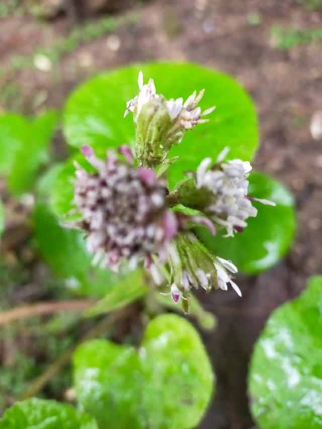 Petasites pyrenaicus (= Petasites fragrans) - héliotrope d'hiver - Page 2 Img20909