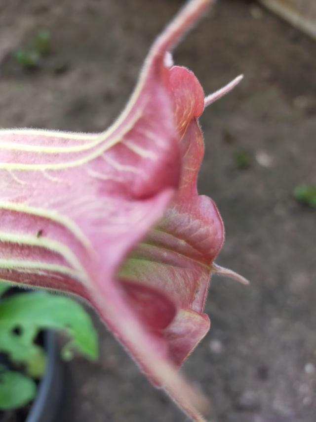 Brugmansia sanguinea - Page 4 Img20929