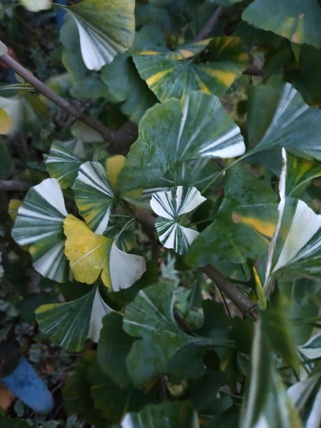 Ginkgo biloba - arbre aux quarante écus - Page 7 Img20940