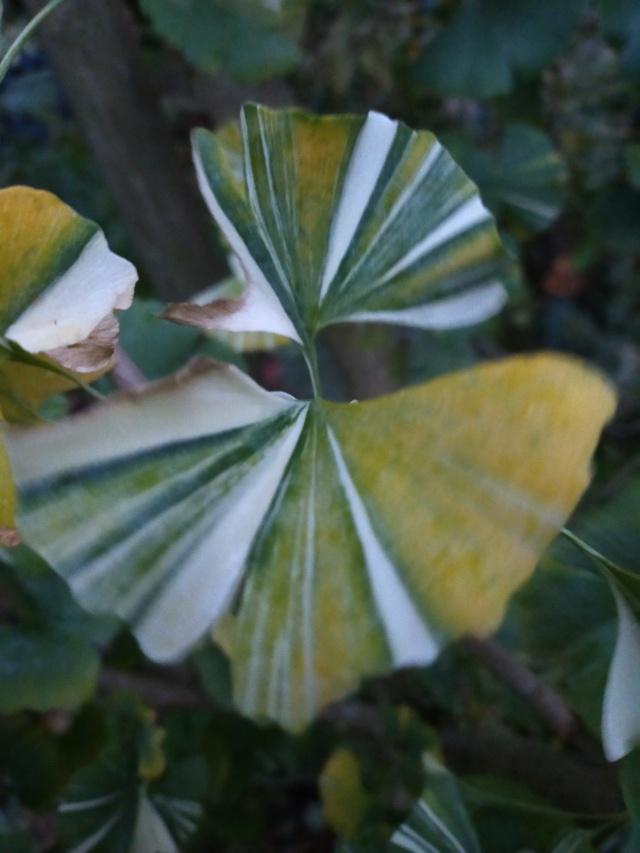 Ginkgo biloba - arbre aux quarante écus - Page 7 Img20941