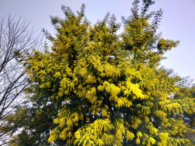 Acacia Dealbata [identificaton] Img21010